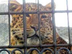 Leopard Julius  (9)