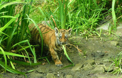 Tiger Jungtiere  (57)