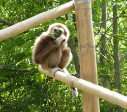 Gibbon  (3)
