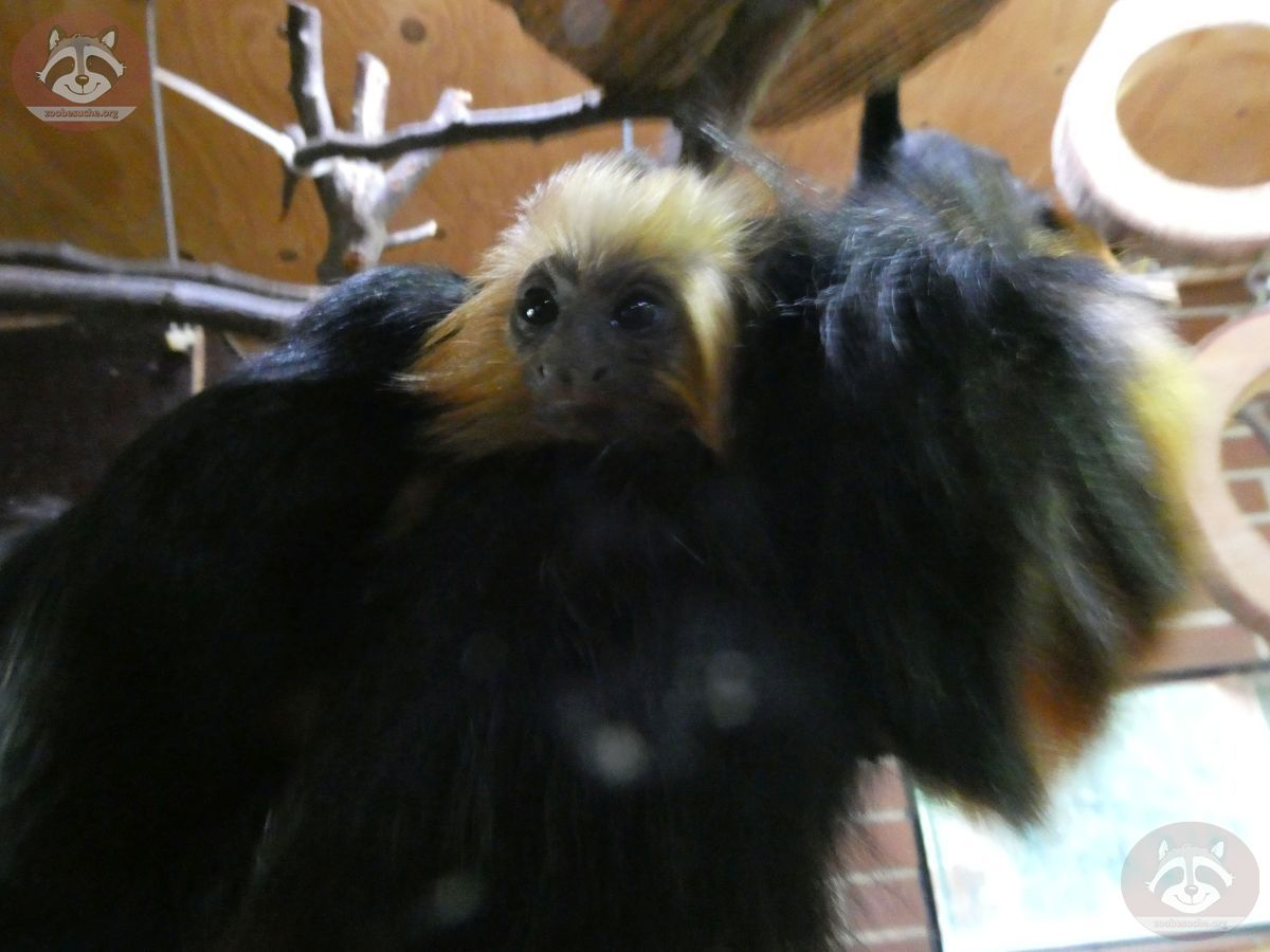 Goldkopflöwenäffchen (1)
