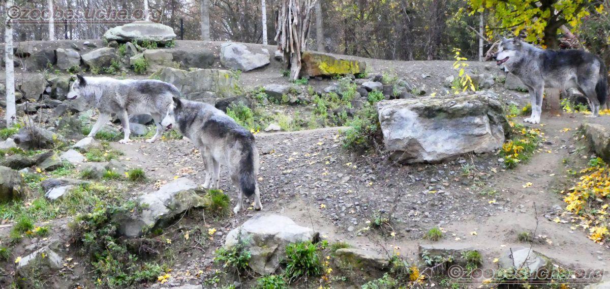 Timberwolf  (8)