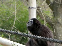 Gibbon  (12)