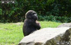 Gorilla Jungtier Anandi  (2)