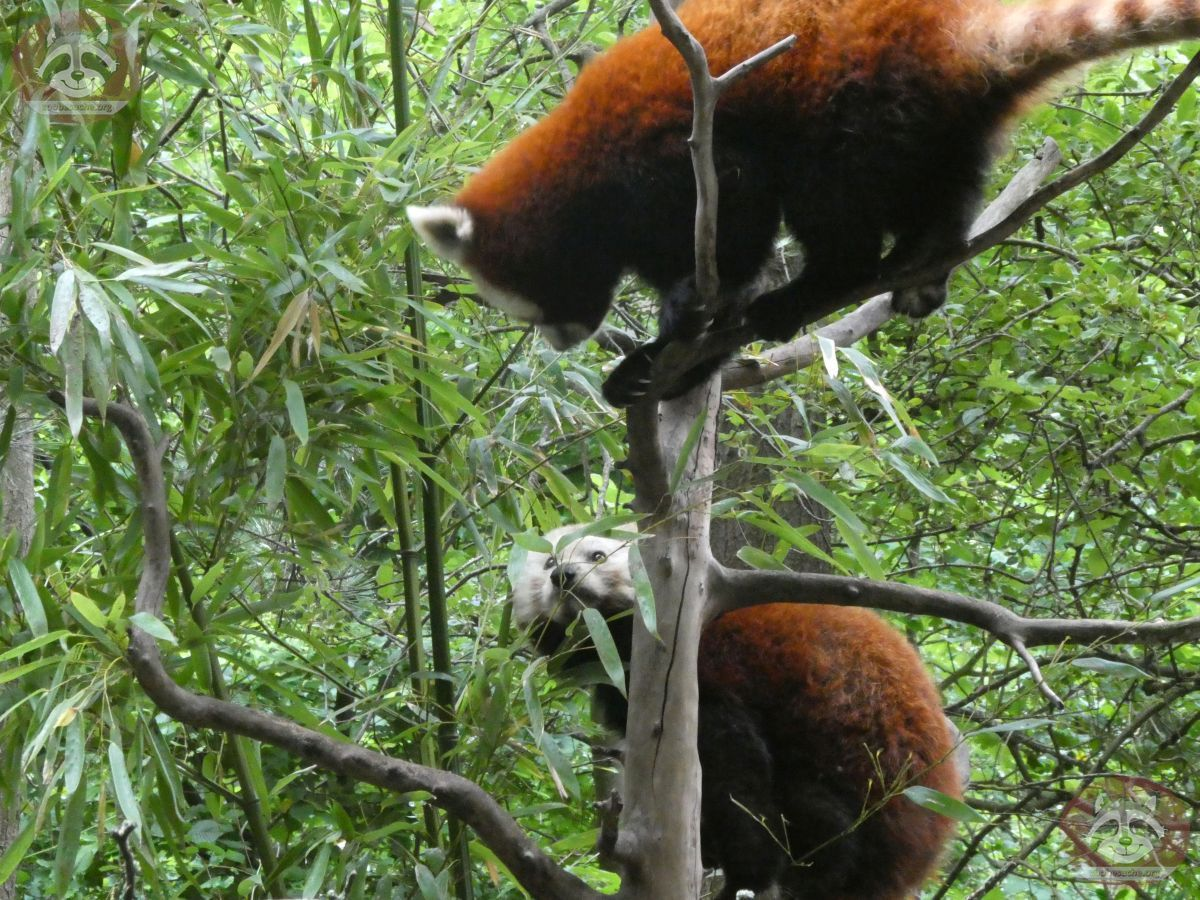 Roter Panda  (25)