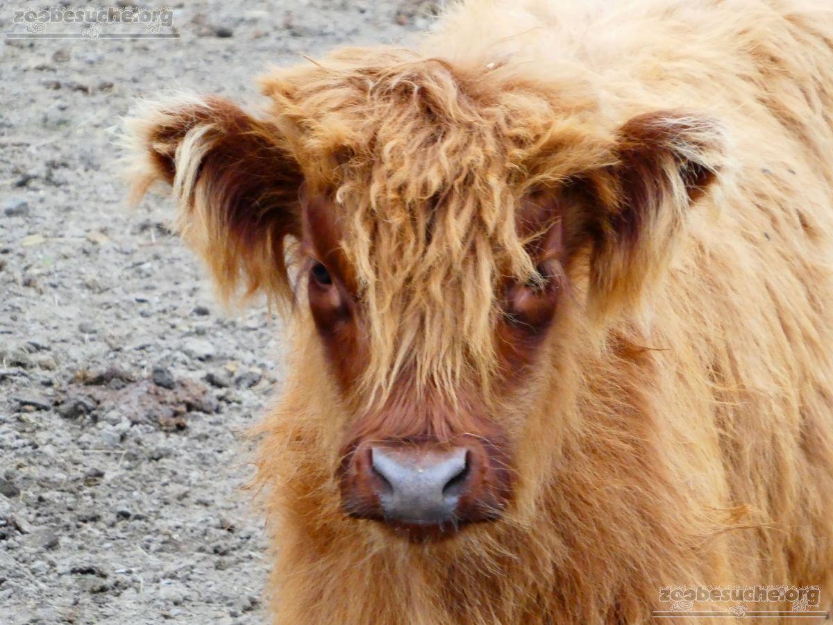 Highland Rinder  (7)