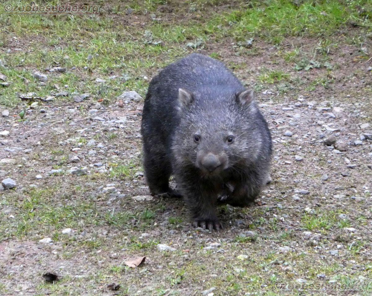 Wombat Maja  (6)