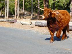 Highland Rinder  (9)