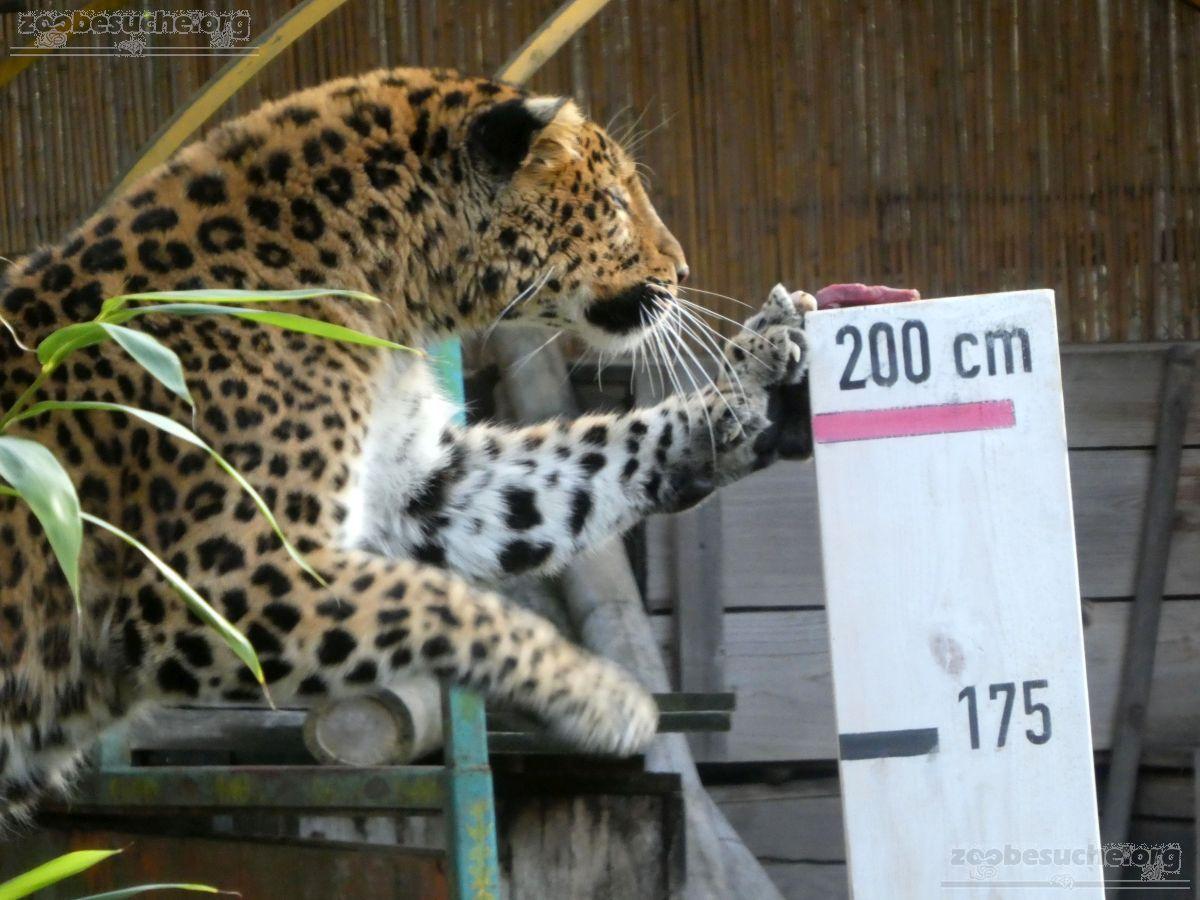 Leopard Julius  (24)
