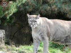 Puma (20)