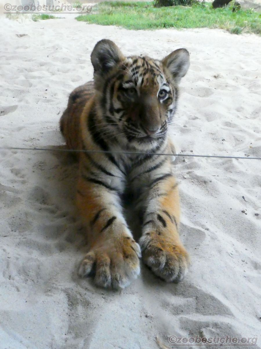 Tiger Jungtier Jaro  (13)