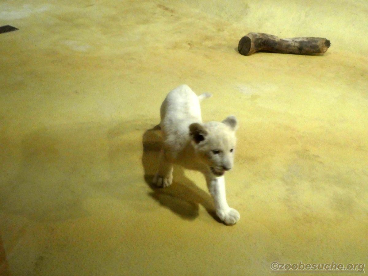 Weiße Löwen Jungtiere (5)