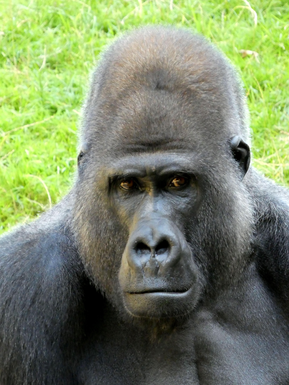 Gorilla  (3)