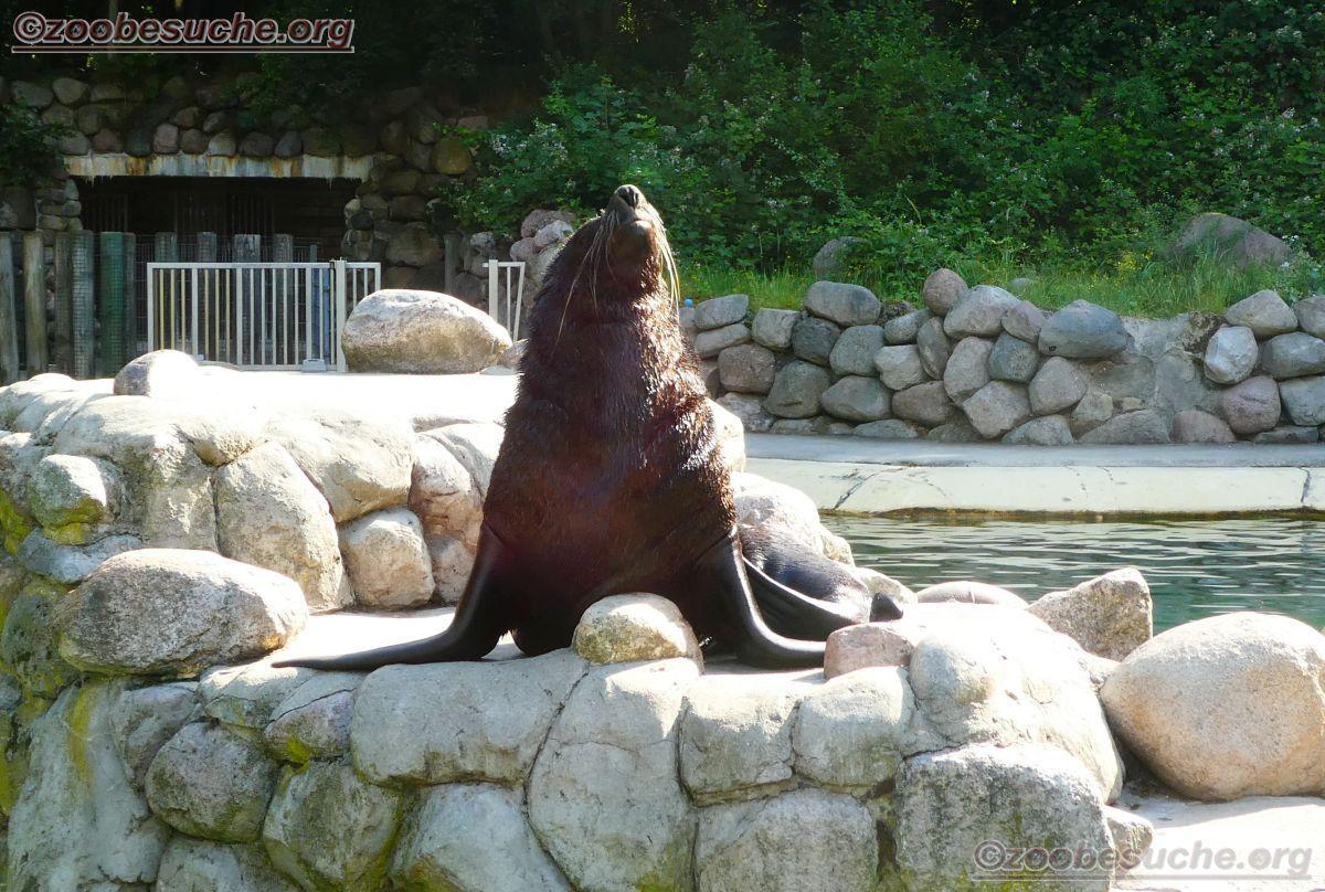 Südafrikanischer Seebär  (2)