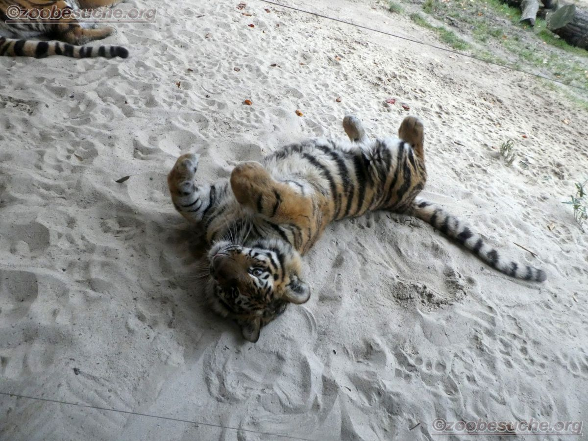 Tiger Jungtier  (19)