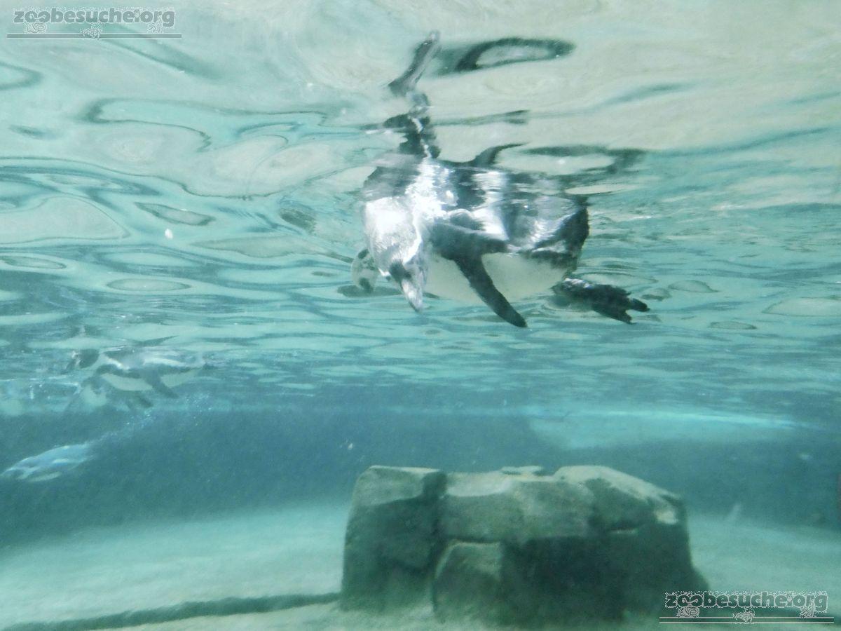 Pinguin  (4)