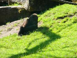 Gorilla Jungtier Tara  (1)