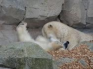 Eisbär  (3).jpg