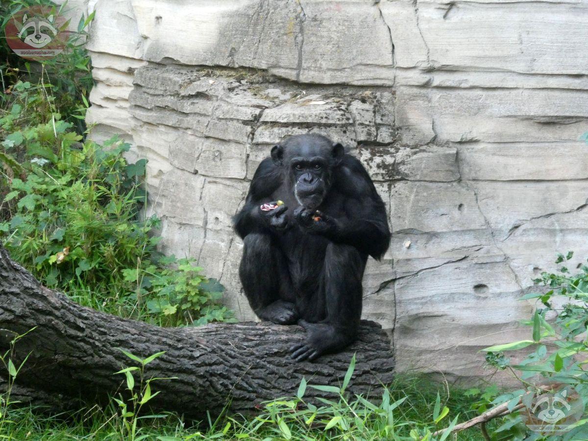 Schimpansen (1)