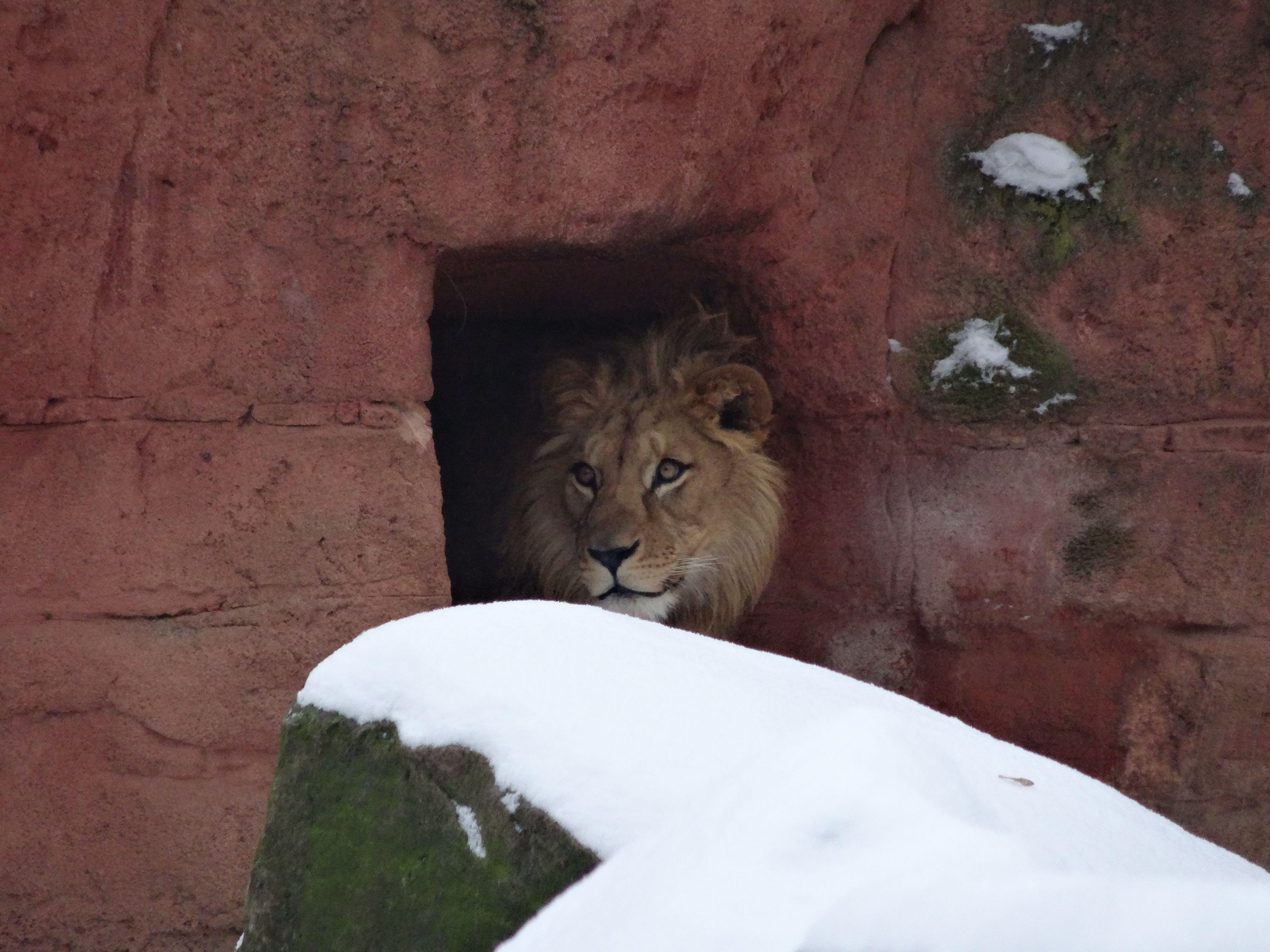Löwe  (2)