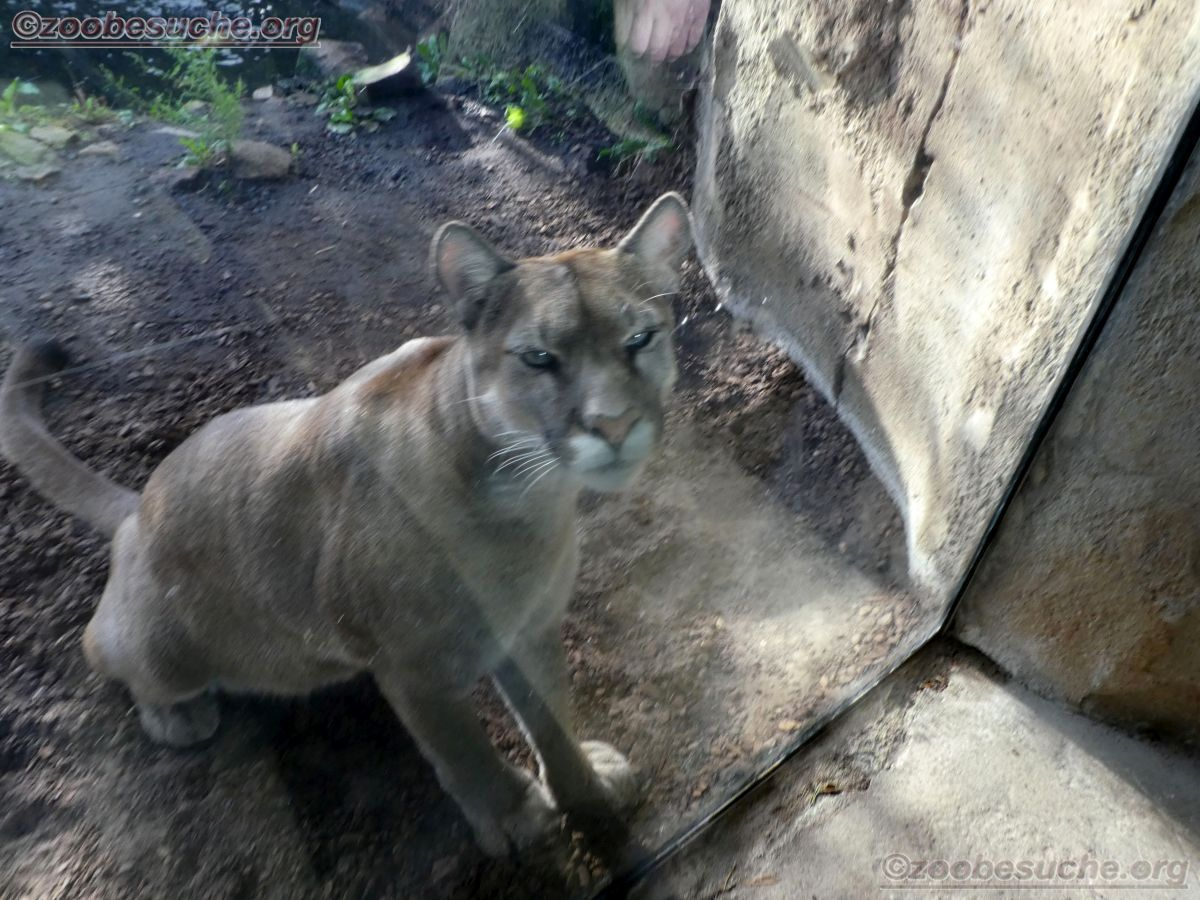 Puma  (8)