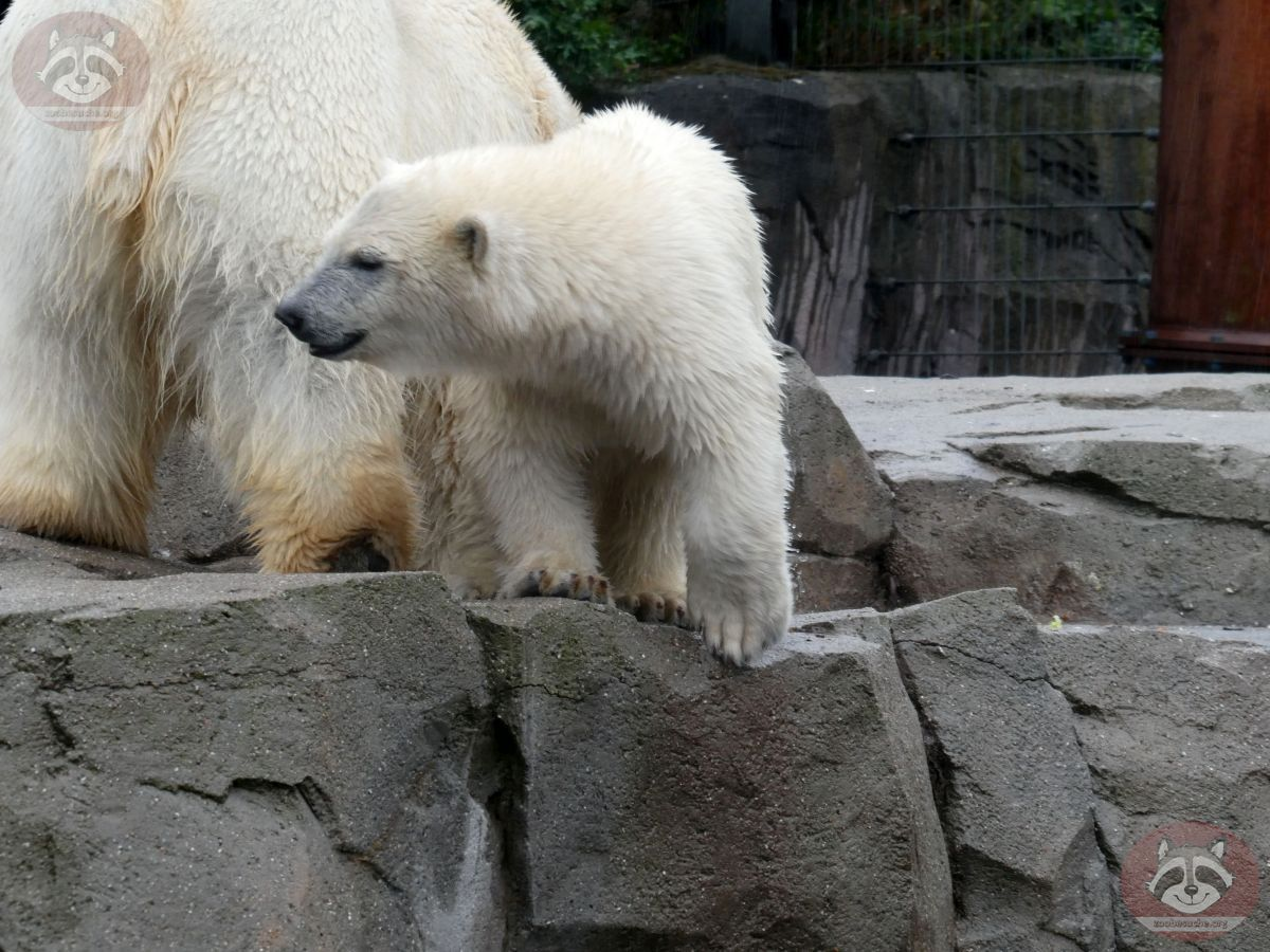 Eisbären_Milana_udn_Nana_(3)