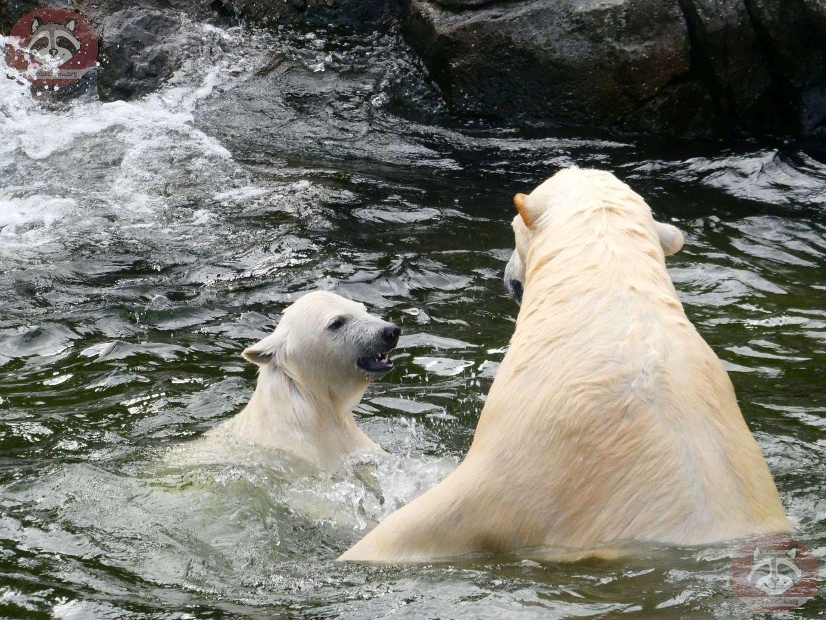 Eisbären_Nana_und_Milana_(10)