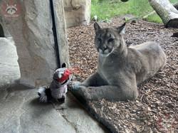 Puma mit Wuschel 2