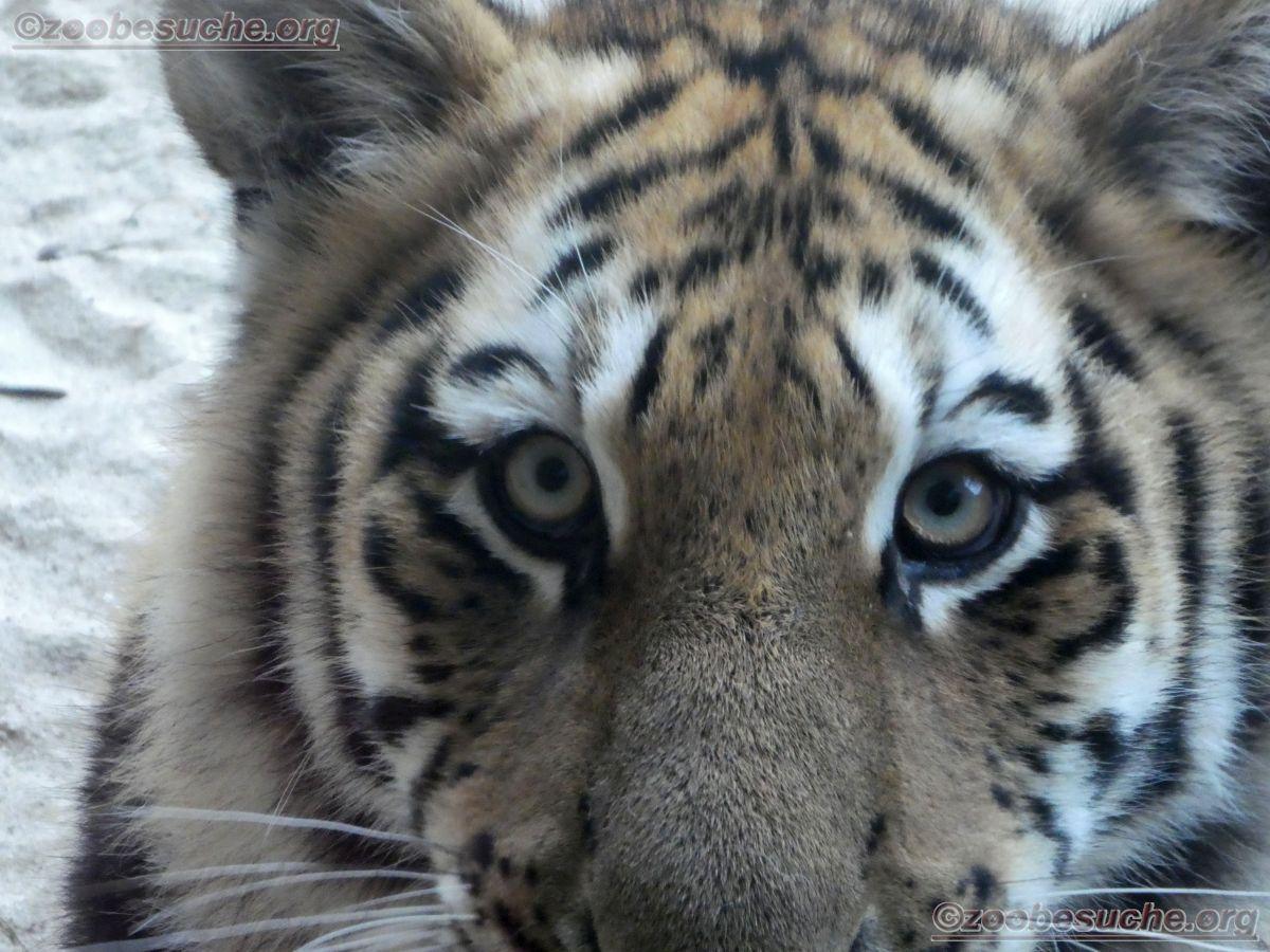 Tiger Jungtier  (9)