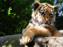 Tiger  (42)