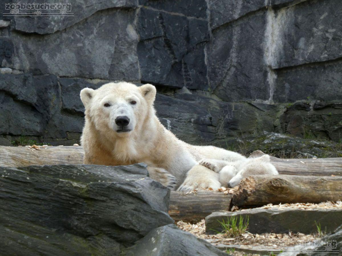 Eisbär  (88)