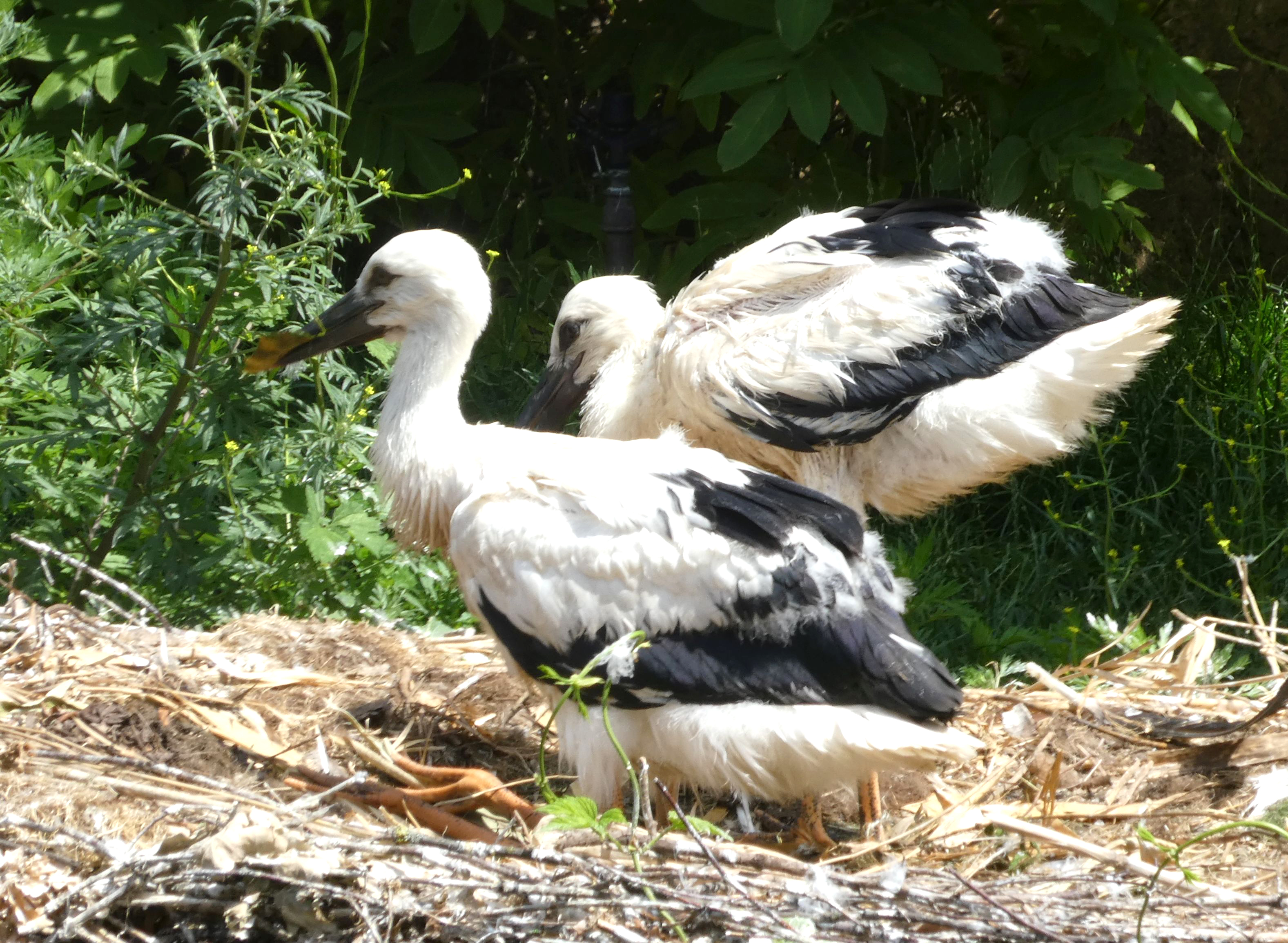 Storch  (5)