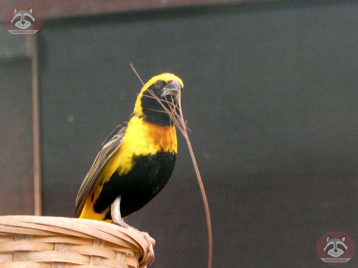 Webervogel (3)