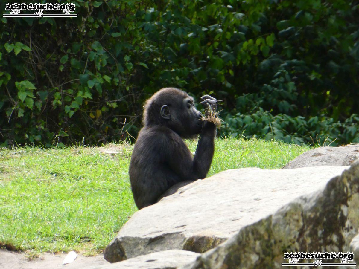 Gorilla Jungtier Anandi  (1)