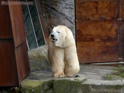 Eisbär  (1)