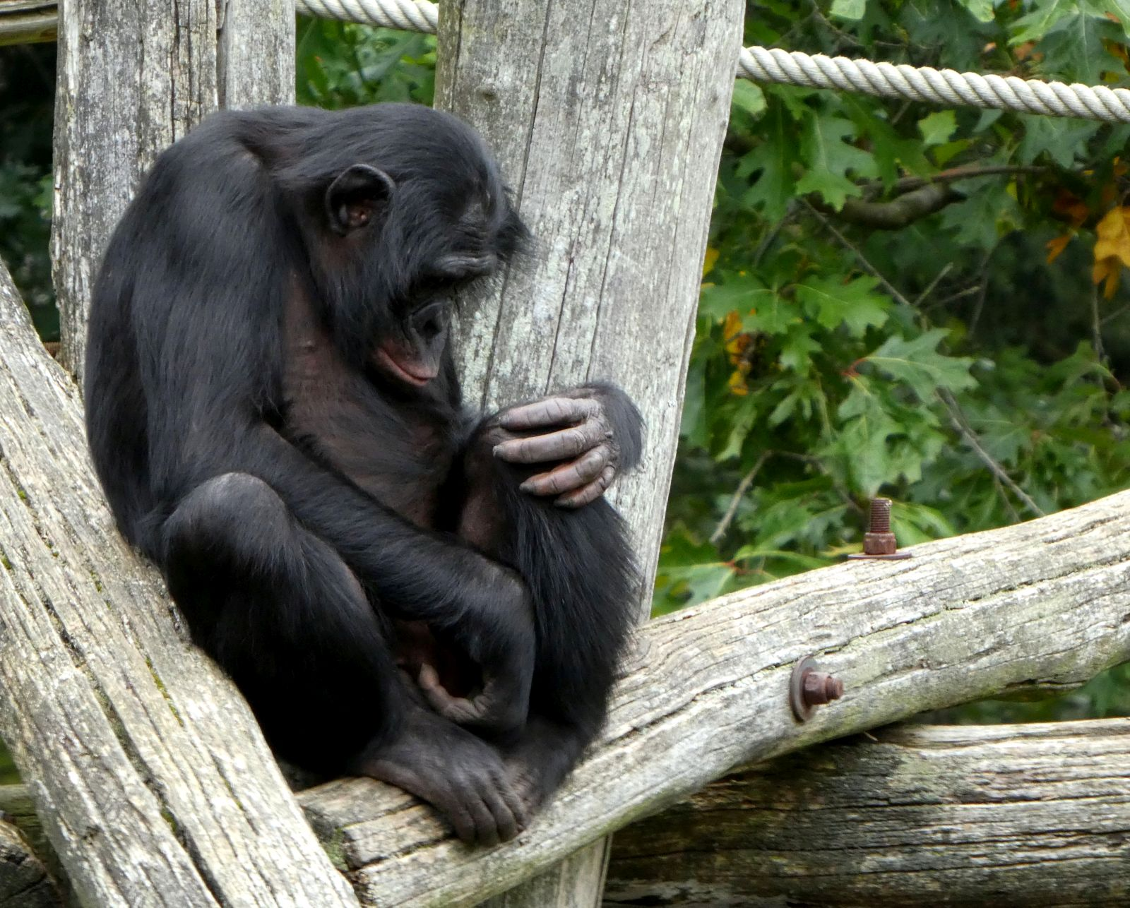 Bonobo  (1)