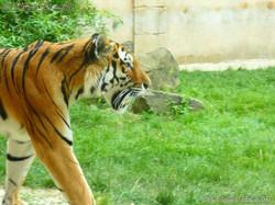 Tiger Aljoscha  (3)
