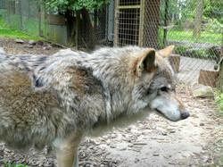 Wolf  (9)