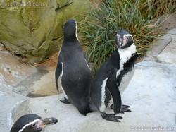 Pinguin  (13)