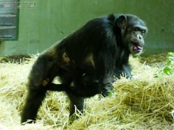 Schimpansen  (3)