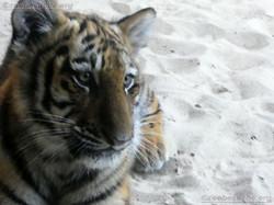 Tiger Jungtier Jaro  (8)