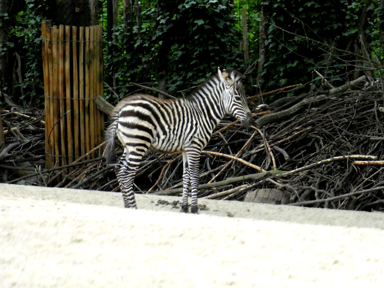 Zebra  (1)