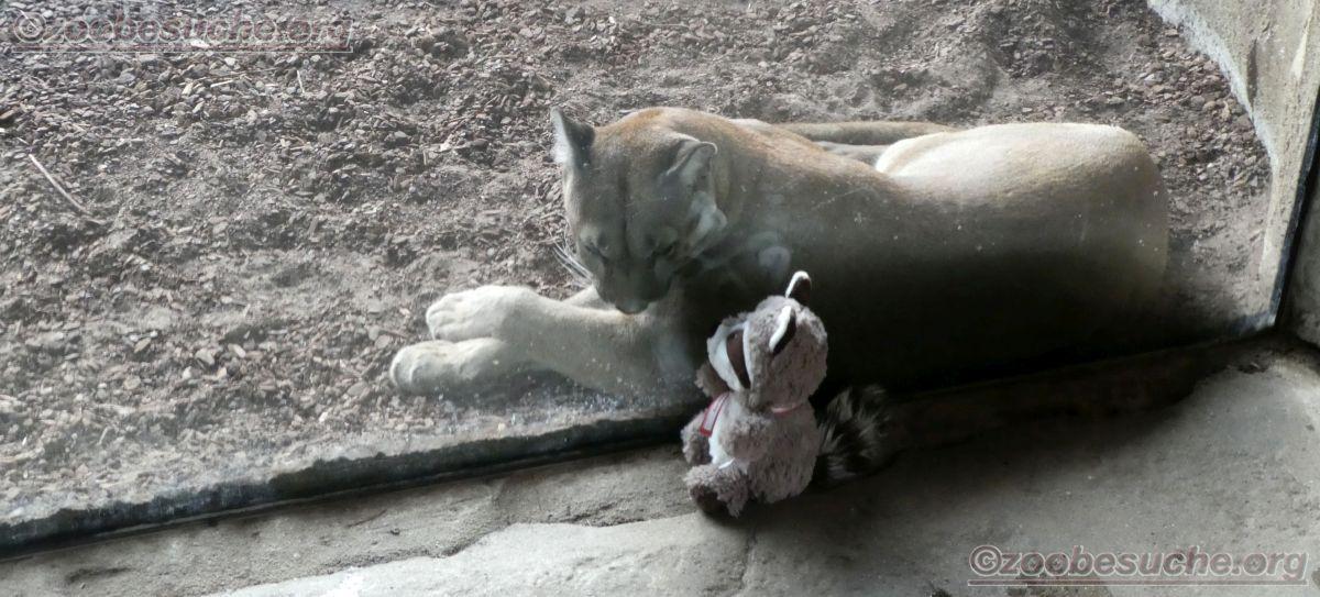Puma mit Wuschel (2)