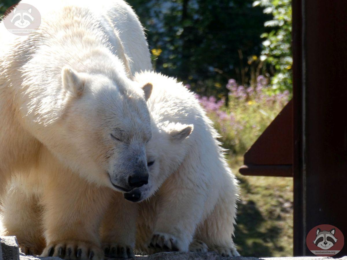 Eisbären_Milana_und_Nana_(12)