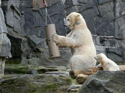Eisbär  (37)