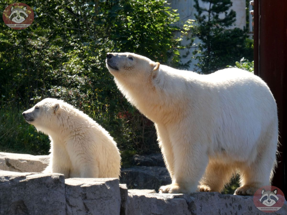 Eisbären_Milana_und_Nana_(13)