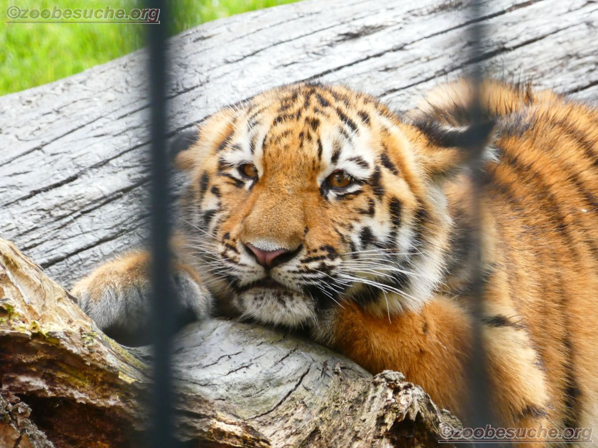 Tigerjungtiere  (3)