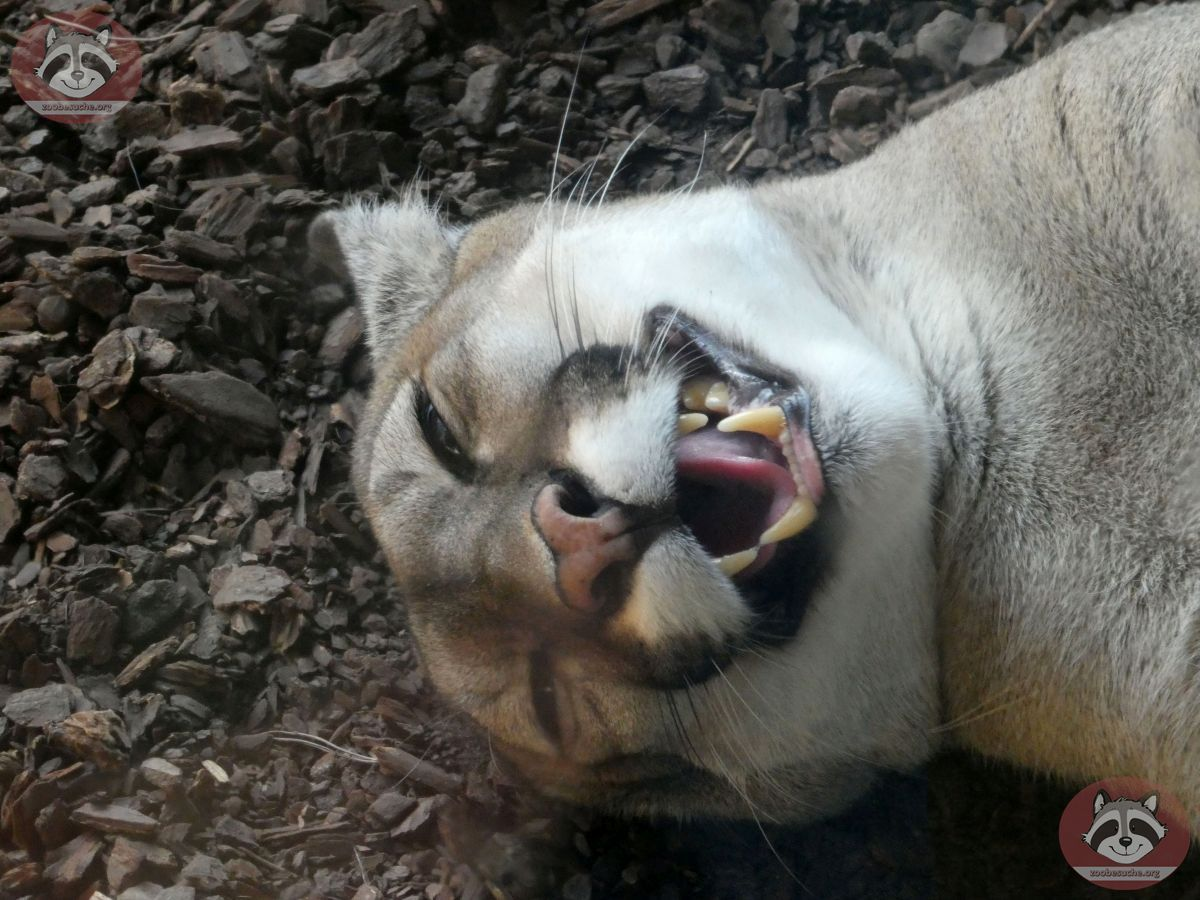 Puma (18)