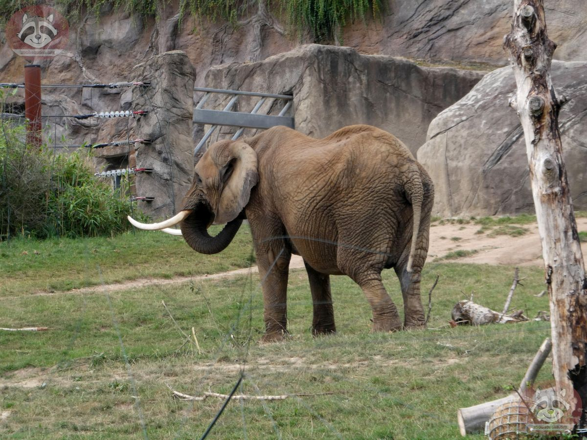 Afrikanische Elefanten (2)