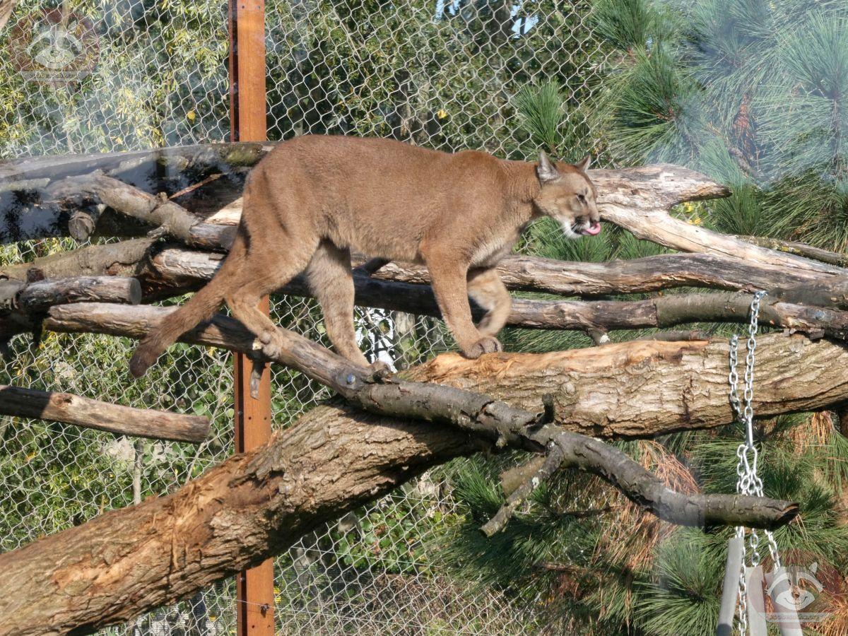 Puma (4)