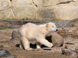 Eisbären  (10)